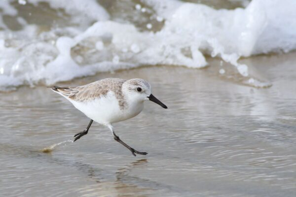 sand piper on the beach